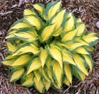 100 pcs/bag hosta plants seeds, Perennial Plantain Lily Flower Ground