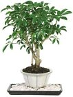 Dwarf Hawaiian Umbrella Bonsai Tree Indoor Home Plant Decoration Cosmetic Decor