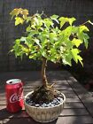 JAPANESE MAPLE ACER BUERGERIANUM TRIDENT MAPLE BONSAI TREE