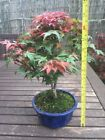 Japanese Maple Acer Deshojo Bonsai Tree