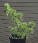 Seed Grown Japanese White Pine Tree 5