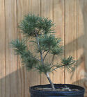 Seed Grown Japanese White Pine Tree 7
