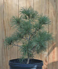 Seed Grown Japanese White Pine Tree 8
