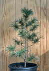 Seed Grown Japanese White Pine Tree 9