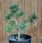 Seed Grown Japanese White Pine Tree 10