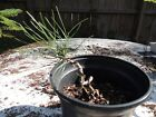 small Japanese black pine pre wired pre bonsai
