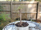 older Bald Cypress pre bonsai