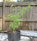 little brazillian rain tree pre bonsai