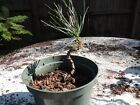 small Japanese black pine pre wired pre bonsai 2