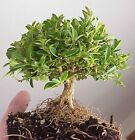 Mame Kingsville Boxwood Tree Pre Bonsai Stock 5 8+Trunk 4 Tall 5 Wide