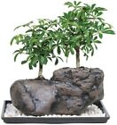 Dwarf Hawaiian Umbrella Tree on Rock Bonsai Low light Indoor Home Office Plant