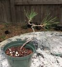 Japanese Black Pine pre bonsai  2