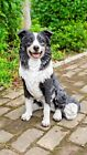 LARGE BORDER COLLIE DOG SITTING NEW REALISTIC LIFE LIKE STATUE HOME GARDEN DECOR