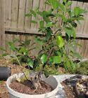 Tropical ficus tree for bonsai2