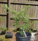 nice collected florida elm for bonsai