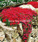 300+ PERENNIAL FLOWERING GROUNDCOVER SEEDS -Rock Cress - Bright Red Bonsai