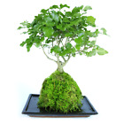Bonsai Kokedama 25cm 7 Year Old Live House Plant With Moss Ball