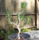 Japanese black Pine for bonsai use