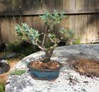 shohin sized juniper parsonii bonsai