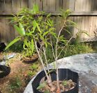 willow leaf ficus trio for bonsai use