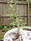 Bald Cypress pre bonsai