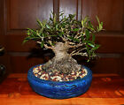Old Shohin Sumo European Olive Bonsai Tree 45 Inch Base