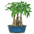 Brussels Money Tree Grove Bonsai Large