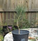 sweet Japanese Black Pine pre bonsai 3