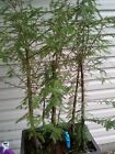 Bald Cypress Bonsai Forest
