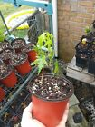 Green japanese maple seedlings lot of 10