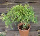 Chamaecyparis pisifSungold Sawara Cypress on stem bonsai topiary live plant