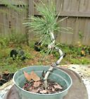 japanese black pine pre bonsai