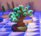 Live Cats Paw Stylophora SPS Coral Frag (Saltwater)