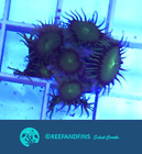 Live Toxic Wowsers Zoanthid LPS Coral Frag (Saltwater)