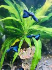 Magic Blue Thunderbolt Guppies