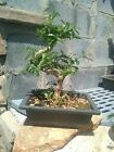 Serissa Bonsai tree