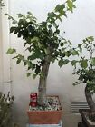 Zelkova Serrate Pre Bonsai Japanese Gray Bark Elm