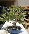 Big Boxwood Tree Bonsai Stock