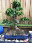 Bonsai Tree Large Chinese Elm over 30 years old