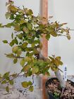 Korean Hornbeam Bonsai 910 04
