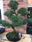 Large Bonsai Tree Chinese Elm Over 40 years old