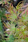 Acer palmatum Abigail Rose dwarf variegated Japanese Maple 2+ year 1gal
