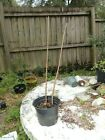 Bald cypress trees pre bonsai