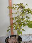 Korean Hornbeam Bonsai 910 02
