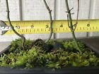 3 Tree Green Japanese Maple Pre Bonsai Forest 2 Year Old Trees
