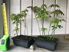2 Pots 10 Trees Green Japanese Maple Pre Bonsai Forest 3 Year Old Trees