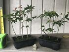 2 Pots 6 Trees Green Japanese Maple Pre Bonsai Forest 3 Year Old Trees