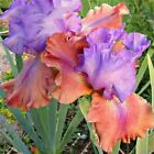 2 Iris Bulbs Bearded Perennial Stunning Resistant Flower  Rhizome Outdoor Bonsai