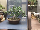 Green Island Ficus Bonsai