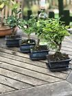 Bonsai Tree Indoor Multi Pack x 4 Trees Tea Plum Ficus Elm FREE POST
